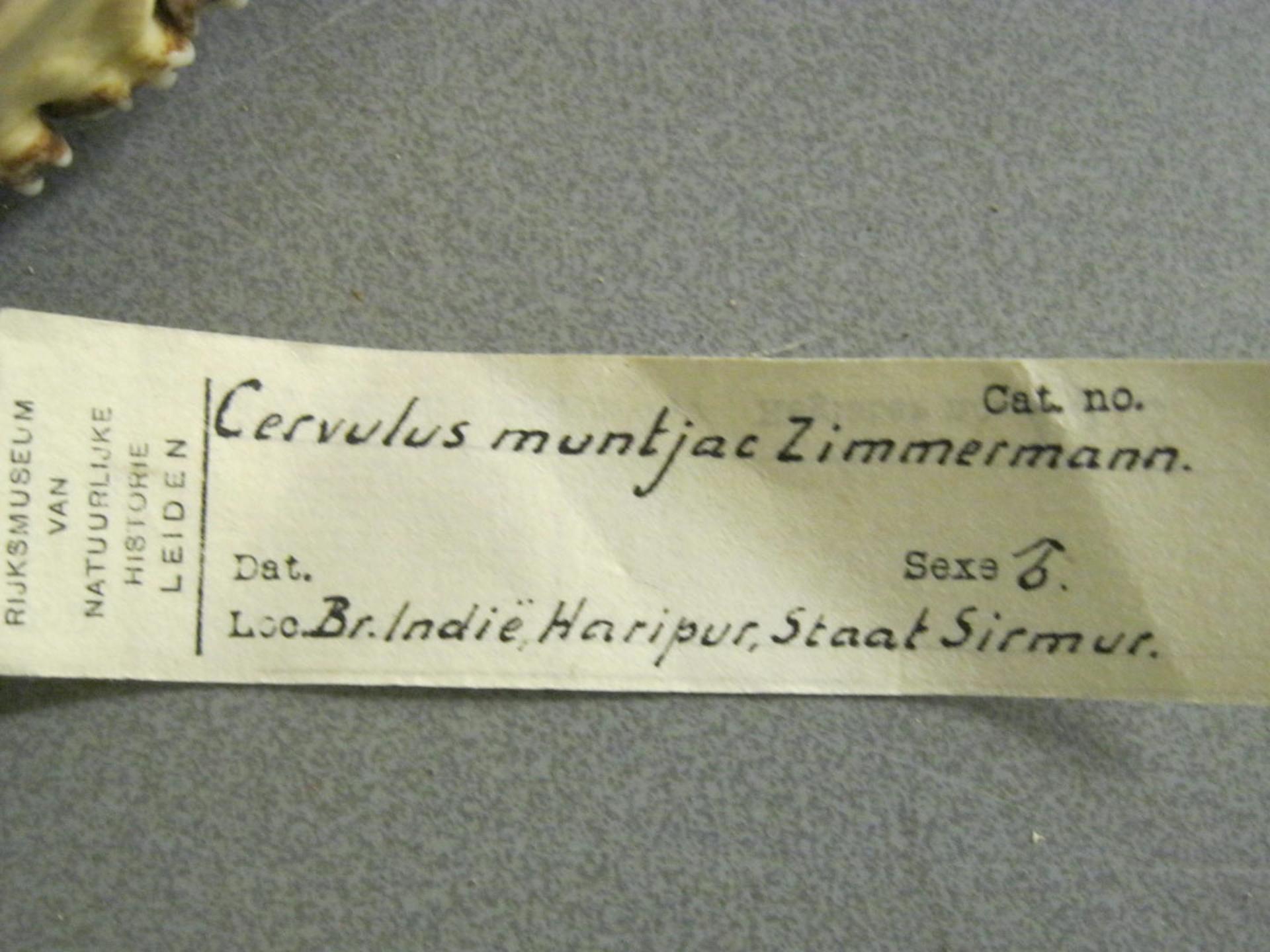 RMNH.MAM.4916 | Muntiacus muntjak Zimmermann, 1780