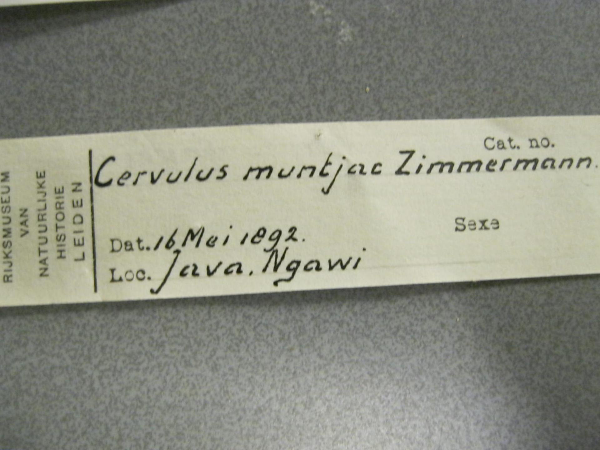 RMNH.MAM.4922 | Muntiacus muntjak Zimmermann, 1780