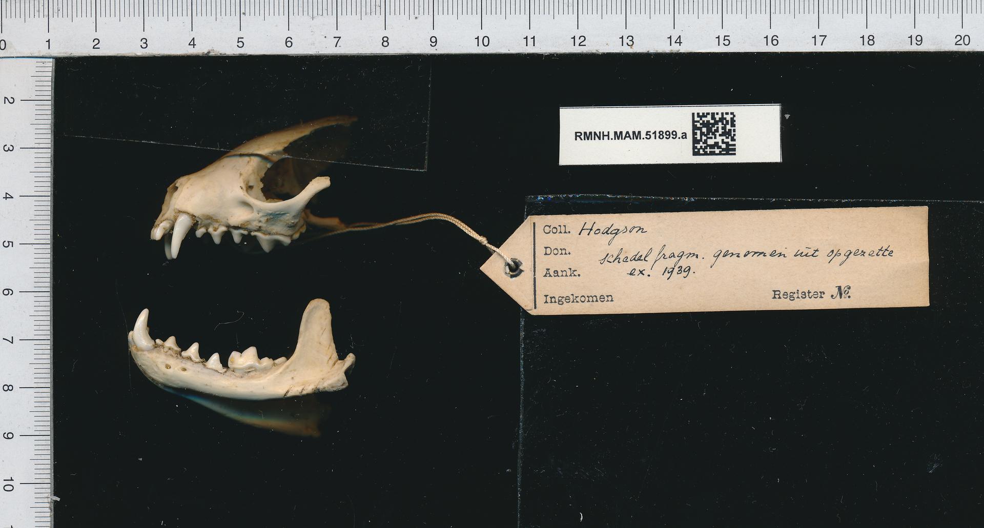 RMNH.MAM.51899.a | Martes flavigula (Boddaert, 1758)