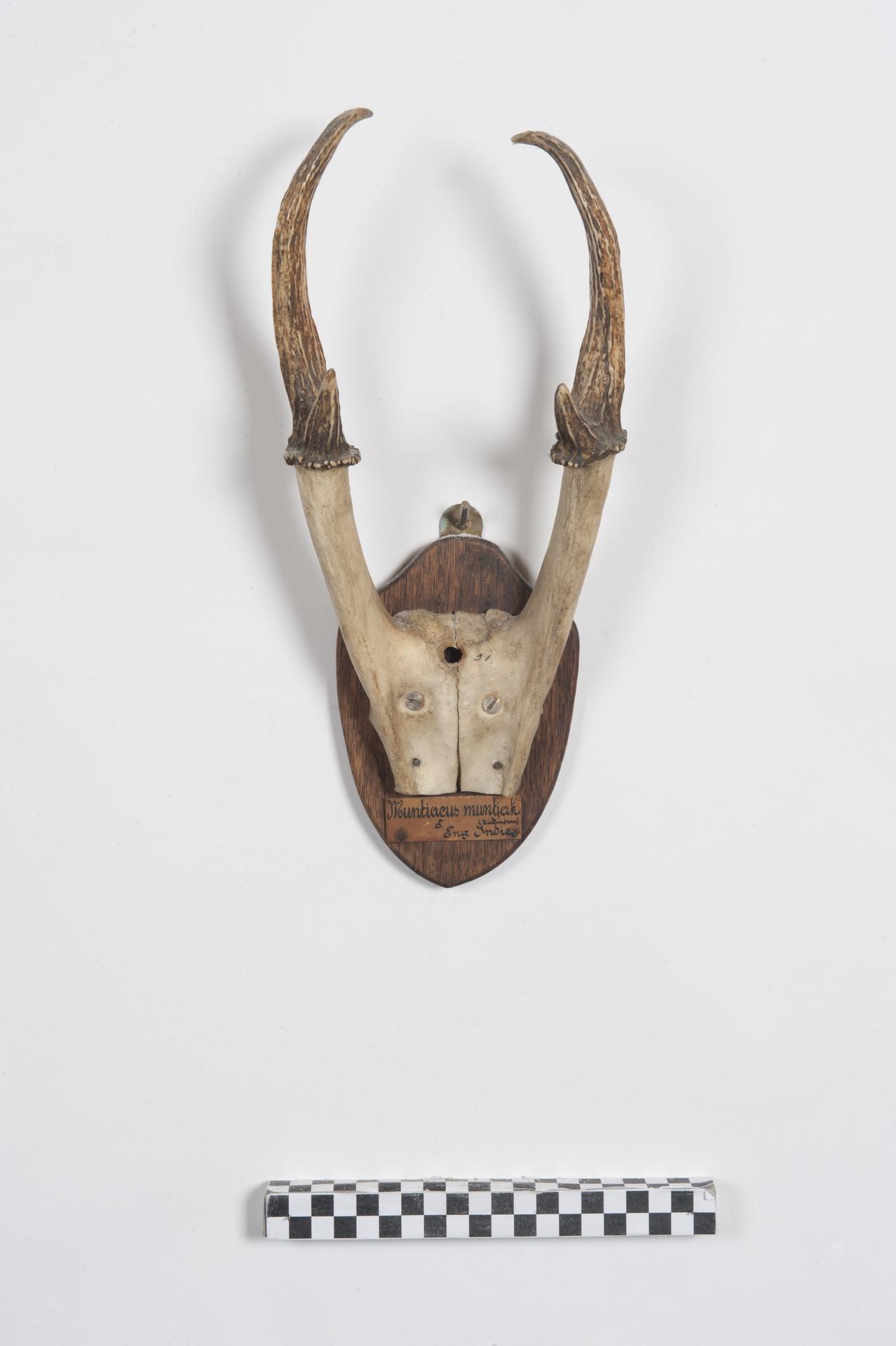 RMNH.MAM.59190 | Muntiacus muntjak Zimmermann, 1780