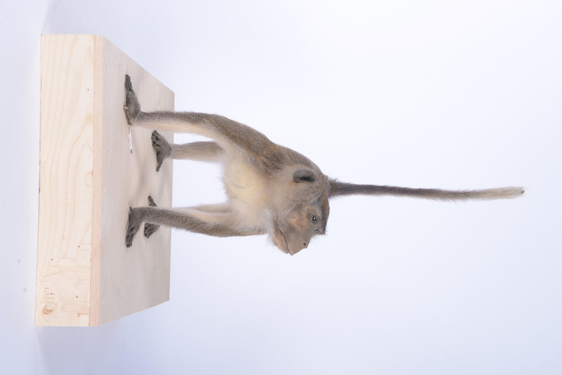 RMNH.MAM.60089 | Macaca fascicularis (Raffles, 1821)