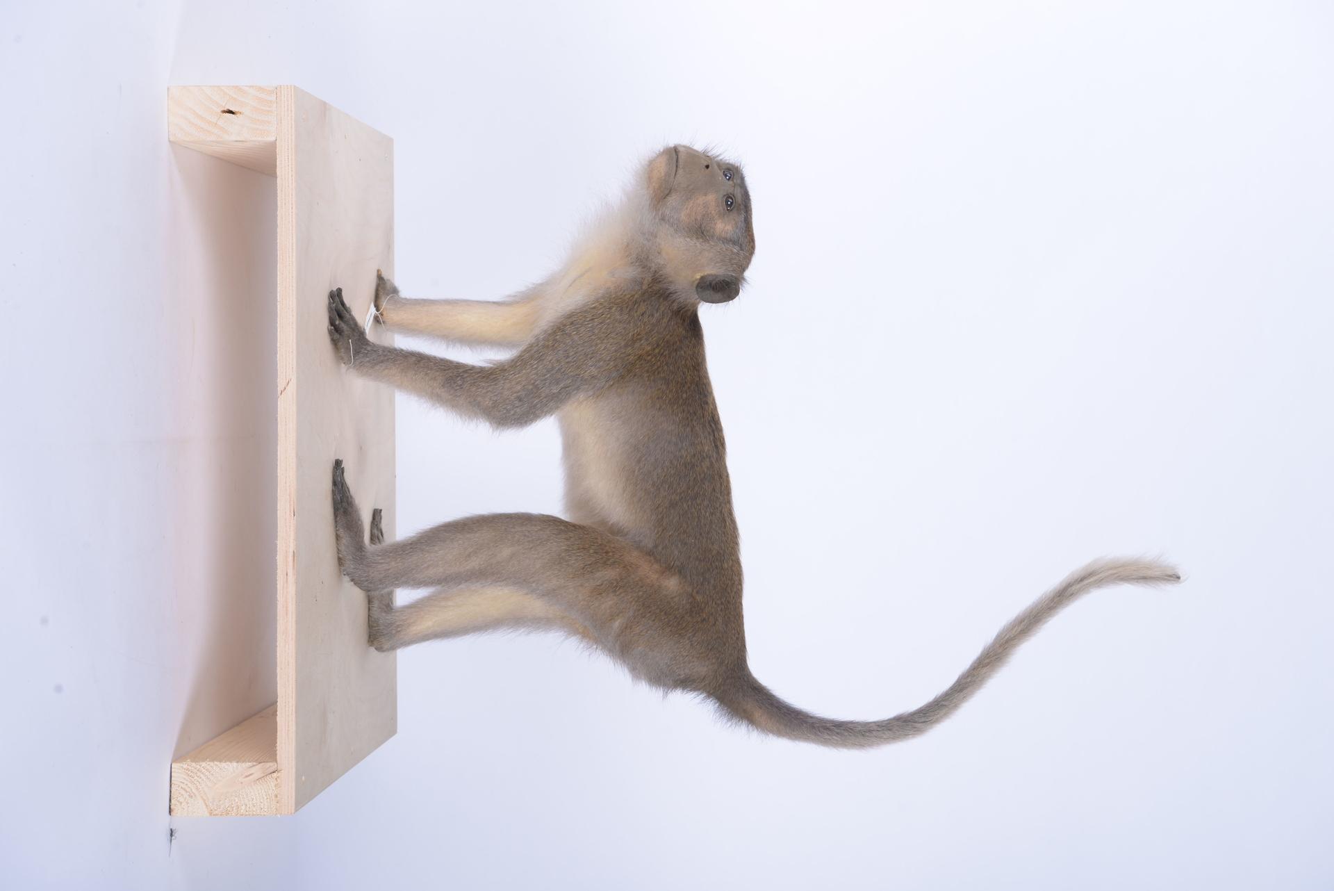 RMNH.MAM.60089   Macaca fascicularis Raffles, 1821