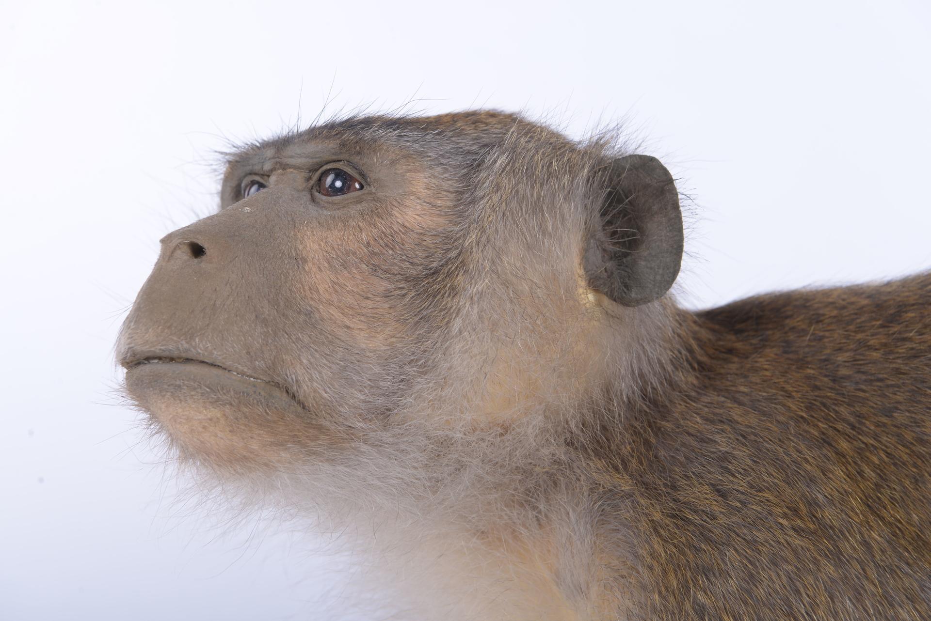 RMNH.MAM.60089 | Macaca fascicularis Raffles, 1821