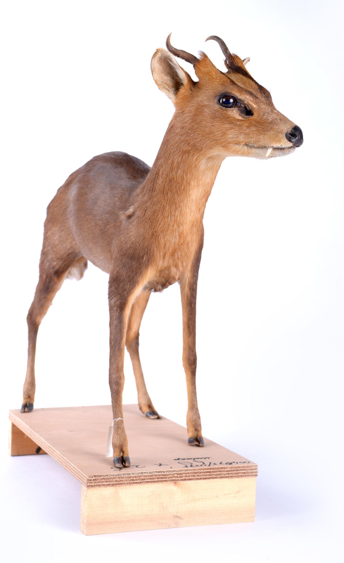 RMNH.MAM.60108 | Muntiacus muntjak Zimmerman,1780