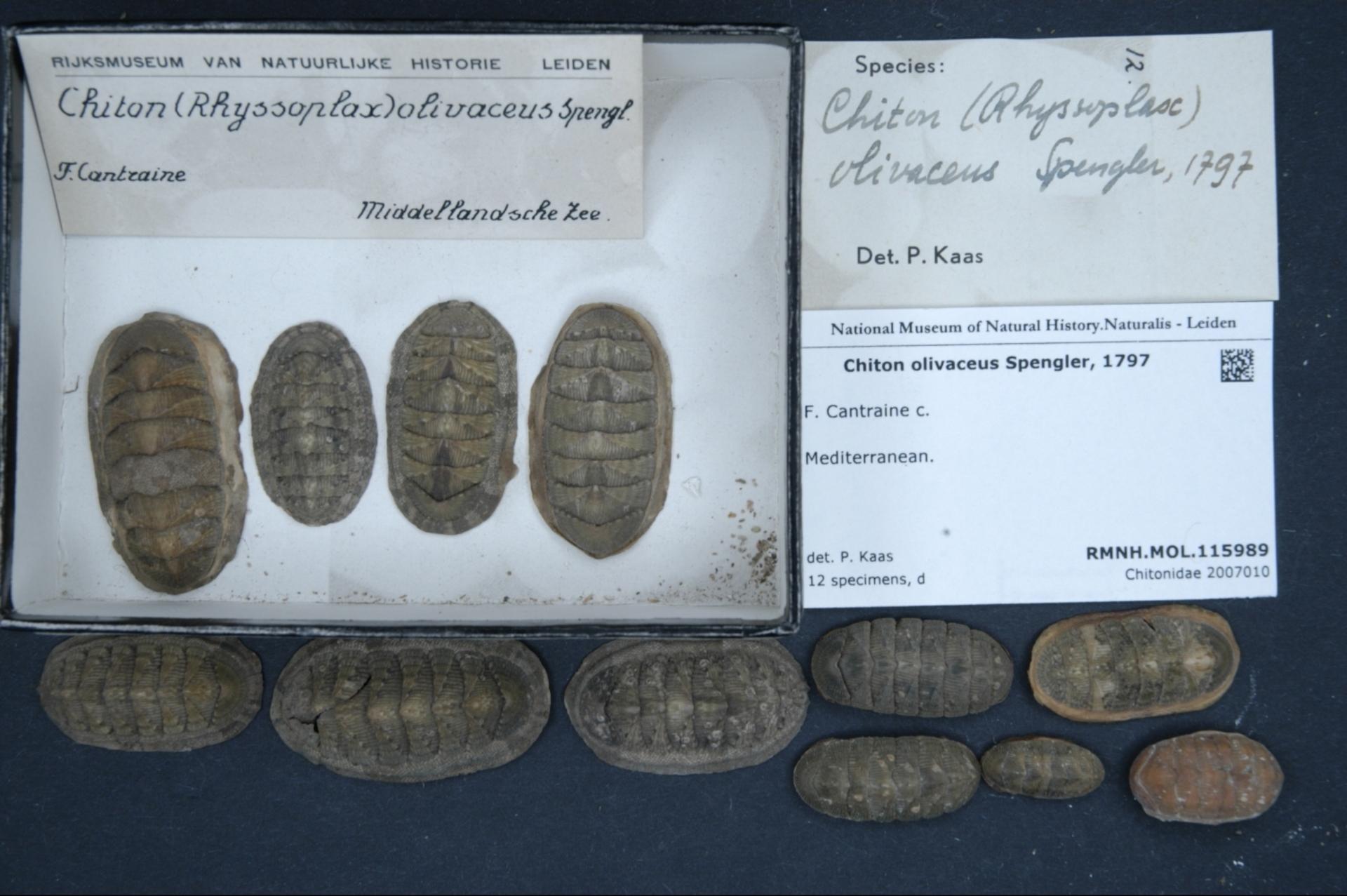 RMNH.MOL.115989 | Chiton olivaceus Spengler, 1797