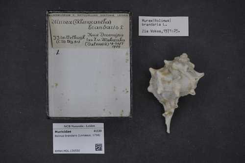 Bolinus brandaris image