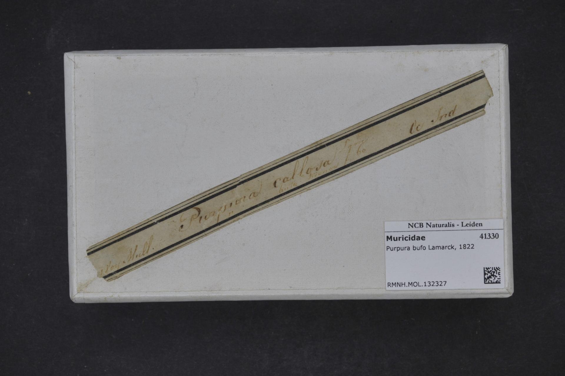 RMNH.MOL.132327 | Purpura bufo Lamarck, 1822