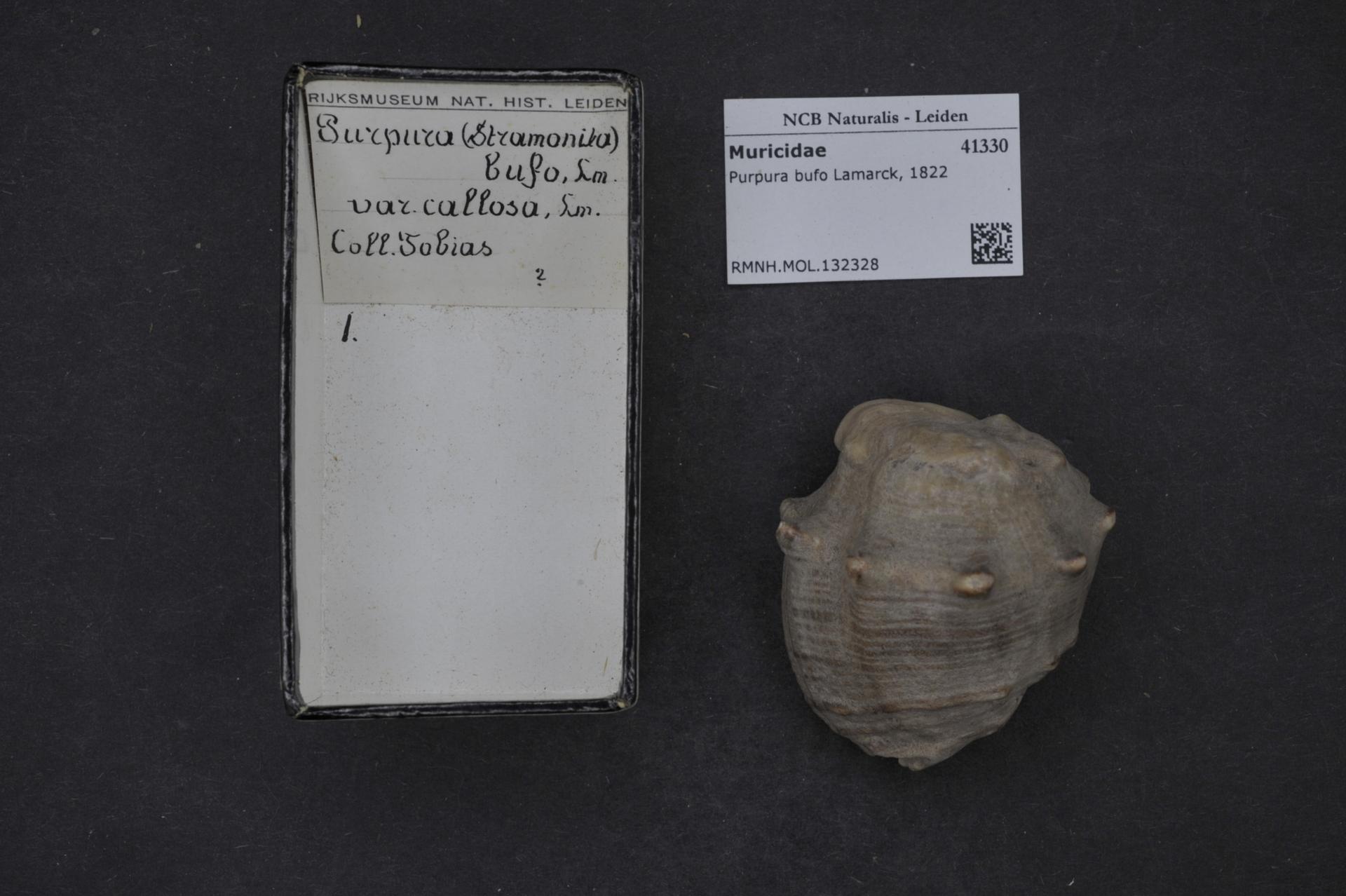 RMNH.MOL.132328 | Purpura bufo Lamarck, 1822