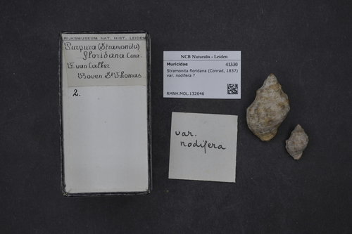 Stramonita floridana image