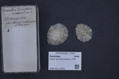 Patella caerulea image