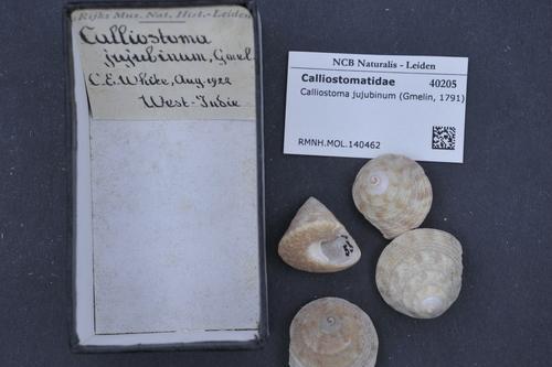 Calliostoma jujubinum image
