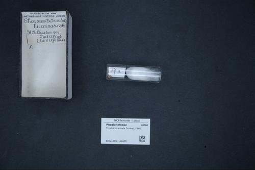 Tricolia bicarinata image