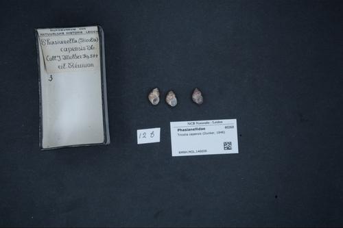 Tricolia capensis image