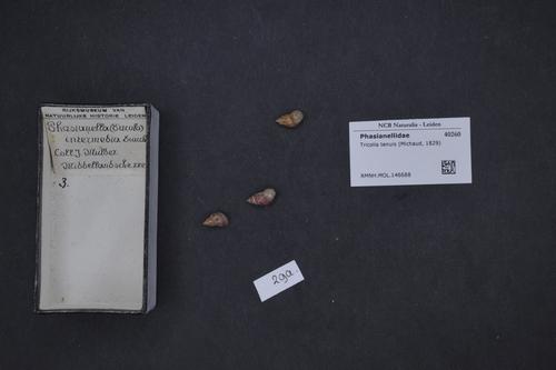 Tricolia tenuis image