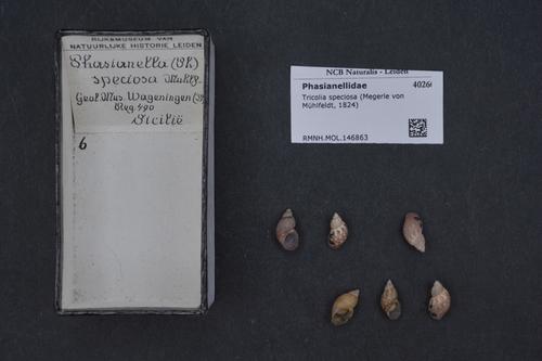 Tricolia speciosa image