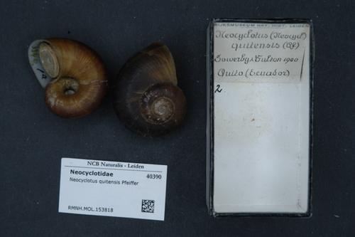 Neocyclotus quitensis image