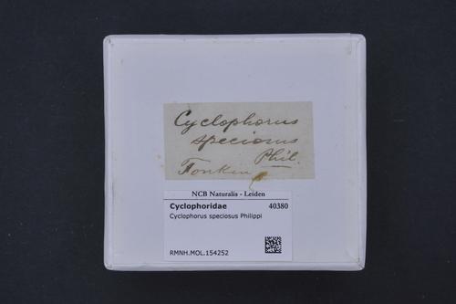 Cyclophorus speciosus image