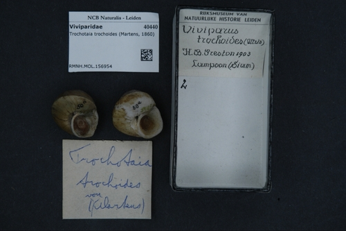 Trochotaia trochoides image