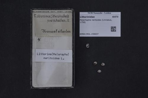 Littorina neritoides image