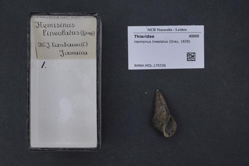 Hemisinus lineolatus image
