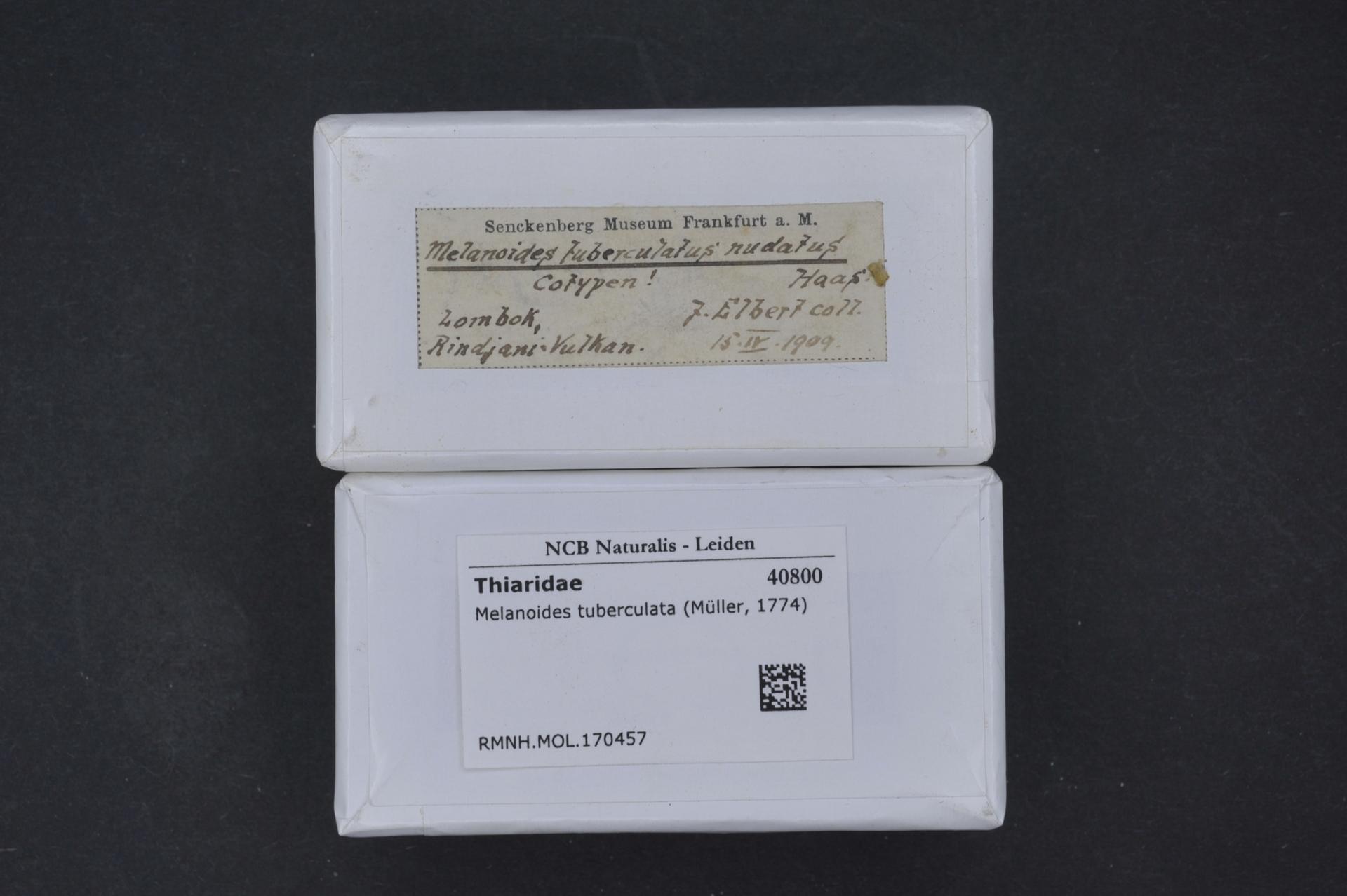 RMNH.MOL.170457 | Melanoides tuberculatus nudatus Haas, 1912