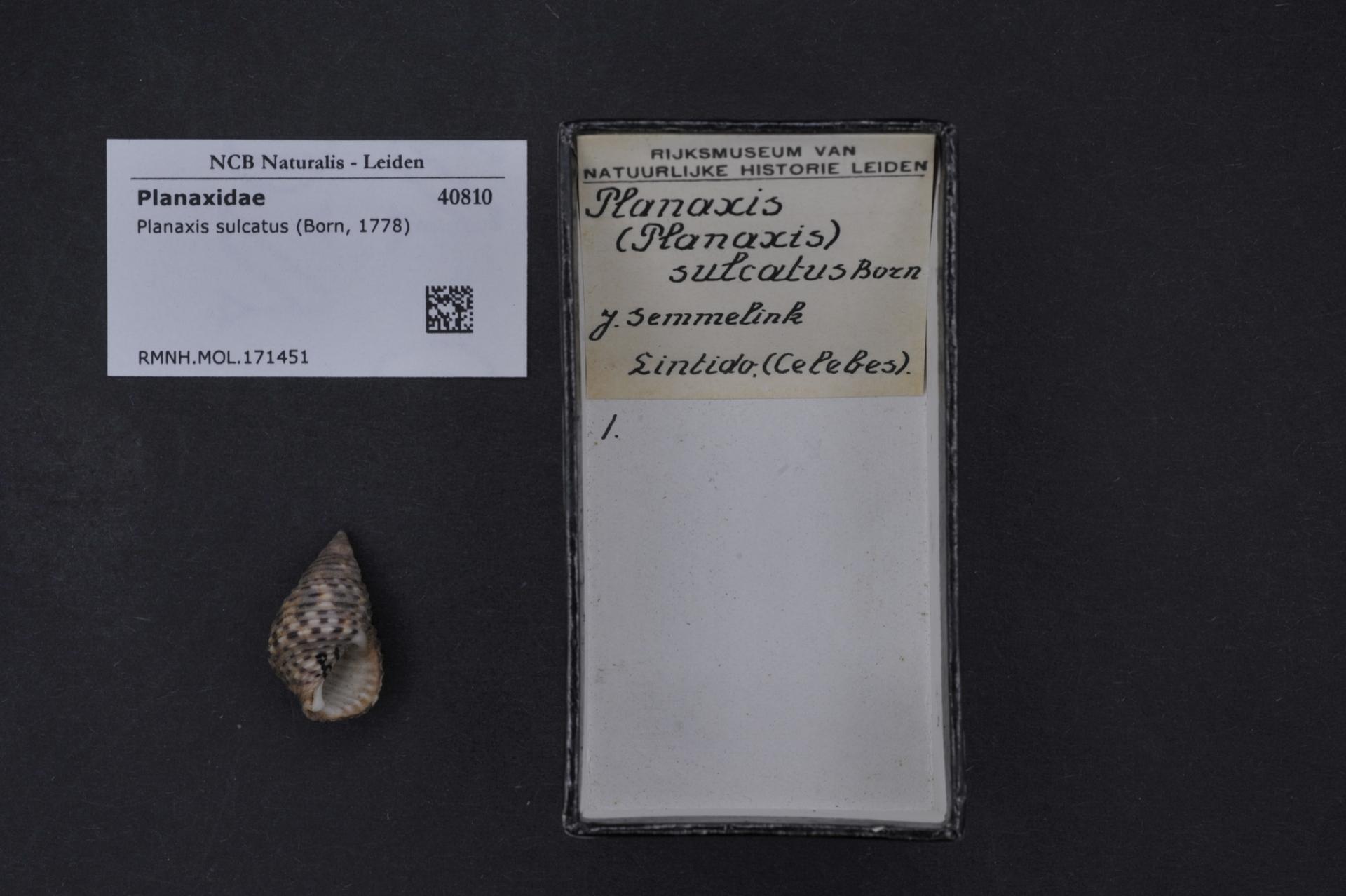 RMNH.MOL.171451 | Planaxis sulcatus Von Born, 1778