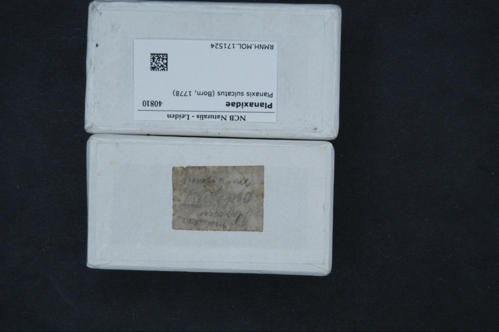 RMNH.MOL.171524 | Planaxis sulcatus Von Born, 1778