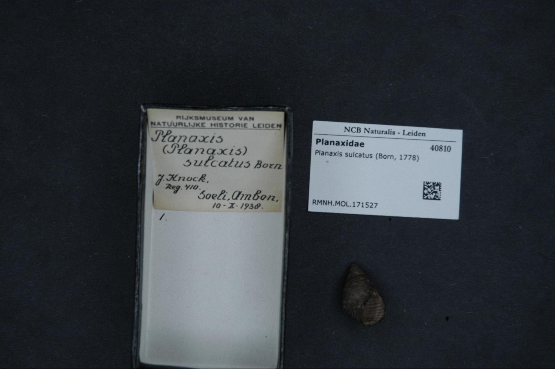 RMNH.MOL.171527 | Planaxis sulcatus Von Born, 1778