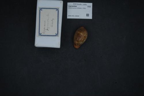 Zonaria pyrum image