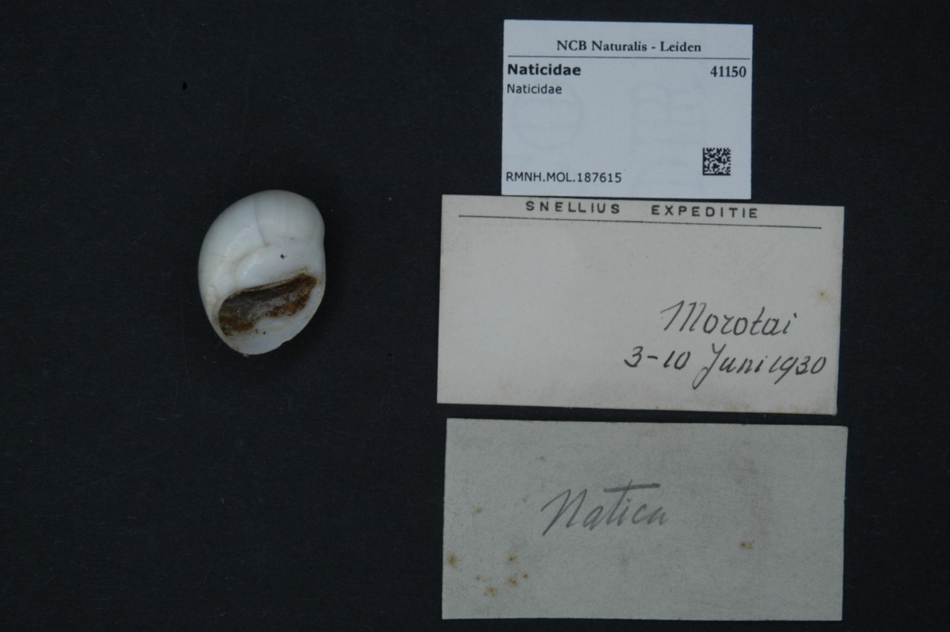 RMNH.MOL.187615 | Polinices mammilla (Linnaeus, 1758)