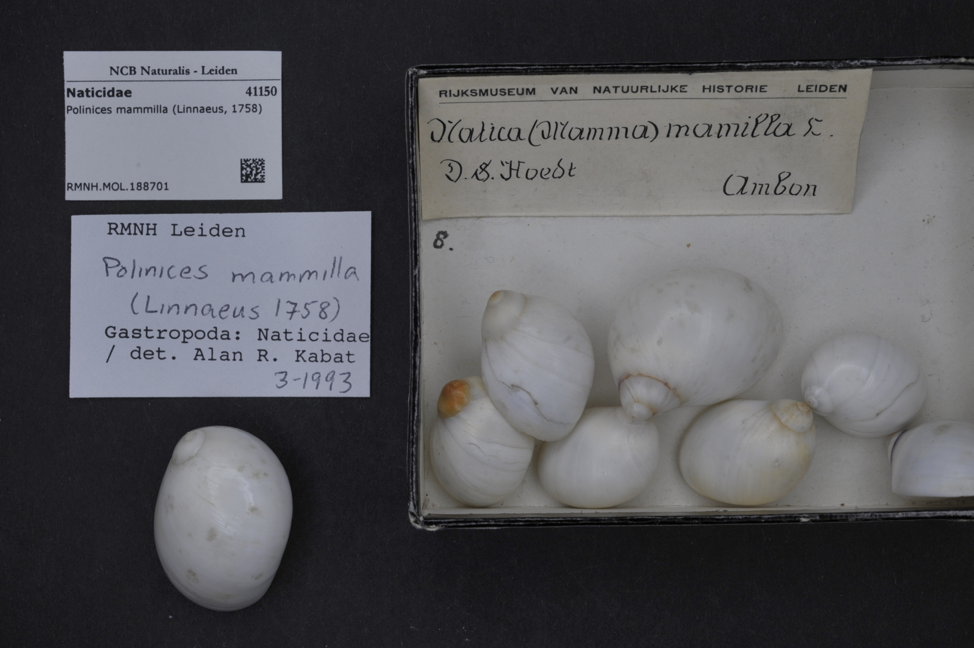 RMNH.MOL.188701 | Polinices mammilla (Linnaeus, 1758)