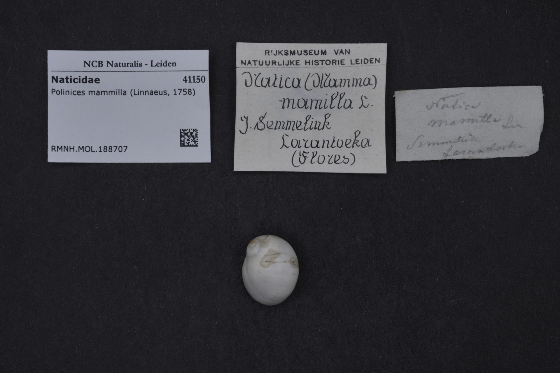 RMNH.MOL.188707 | Polinices mammilla (Linnaeus, 1758)