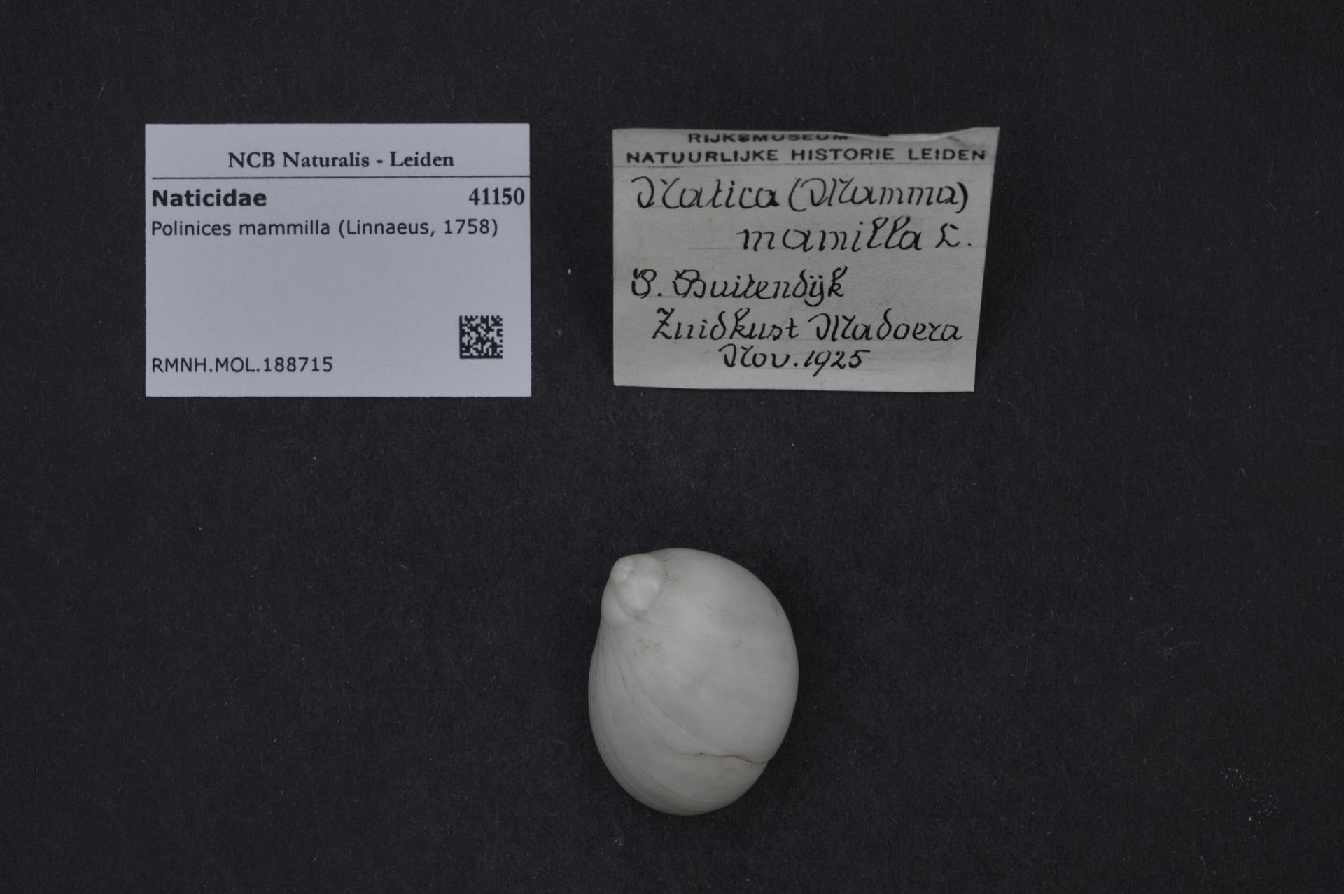 RMNH.MOL.188715 | Polinices mammilla (Linnaeus, 1758)