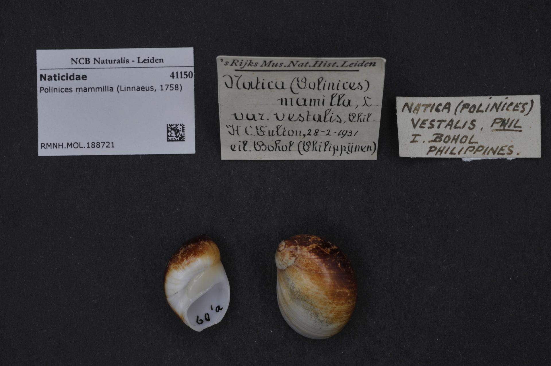 RMNH.MOL.188721 | Polinices mammilla (Linnaeus, 1758)