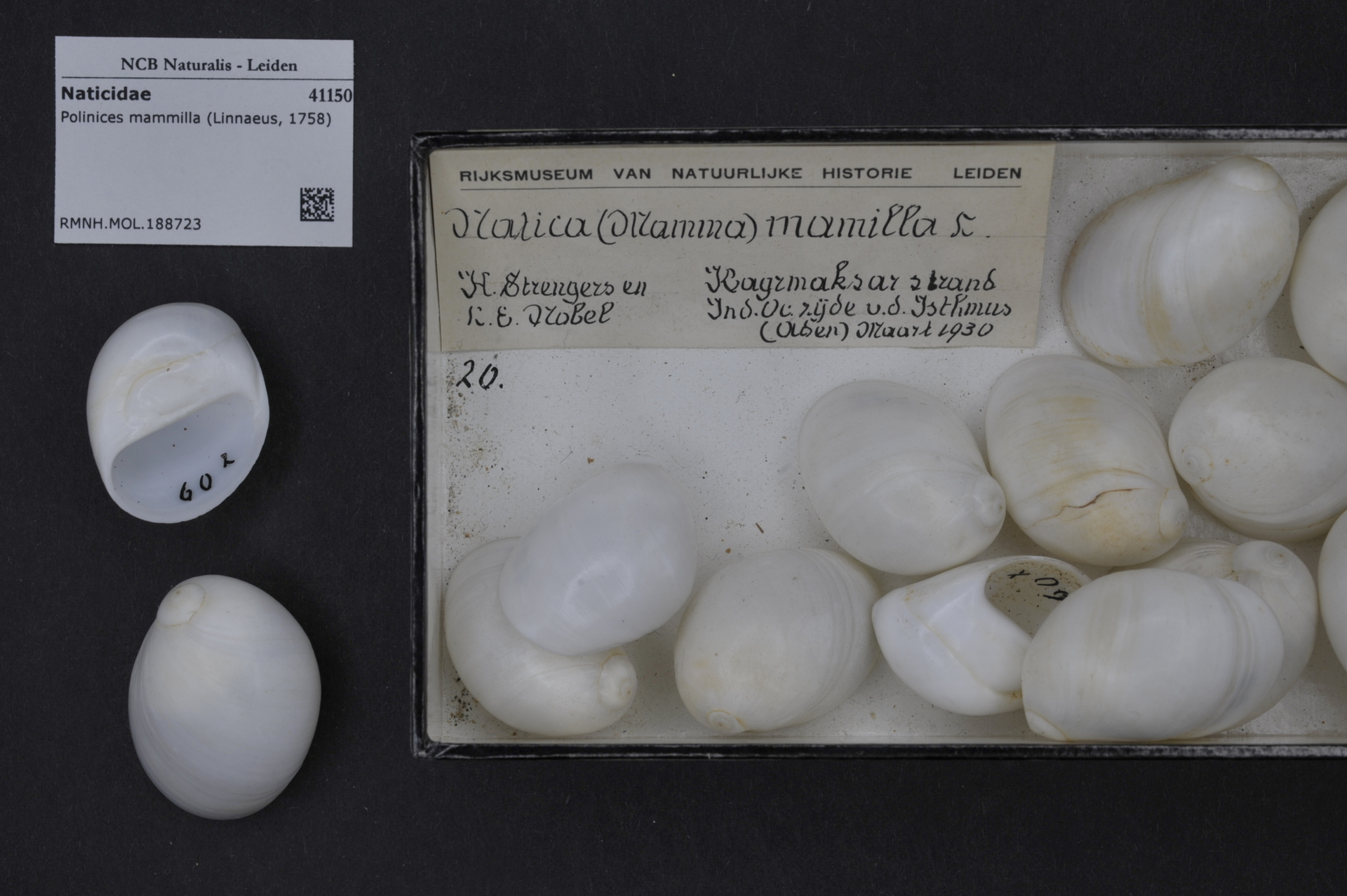 RMNH.MOL.188723 | Polinices mammilla (Linnaeus, 1758)