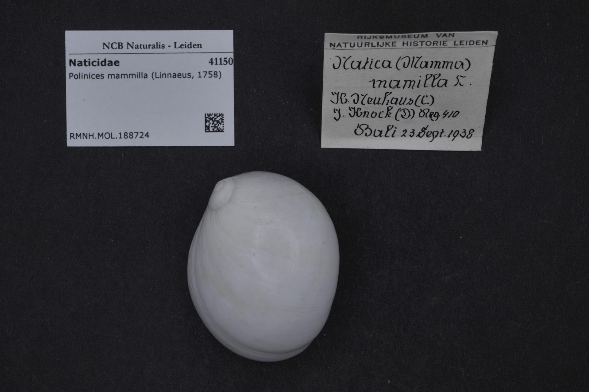 RMNH.MOL.188724 | Polinices mammilla (Linnaeus, 1758)