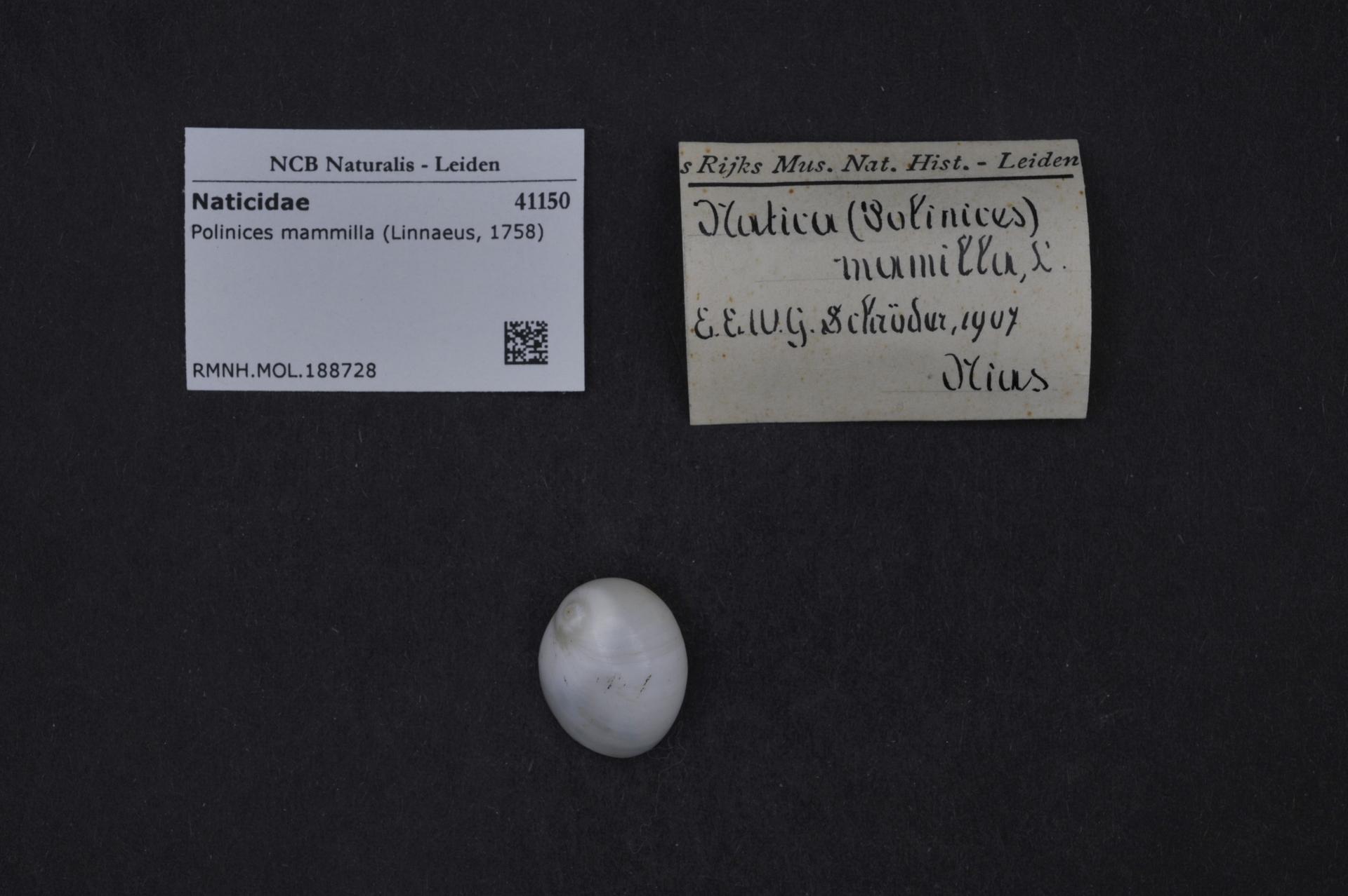 RMNH.MOL.188728 | Polinices mammilla (Linnaeus, 1758)