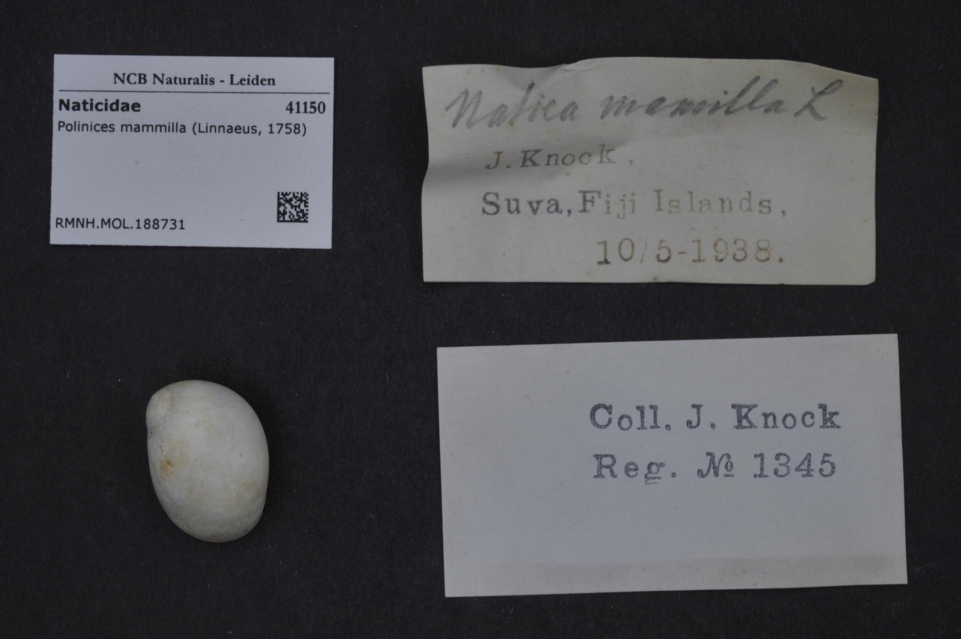 RMNH.MOL.188731 | Polinices mammilla (Linnaeus, 1758)
