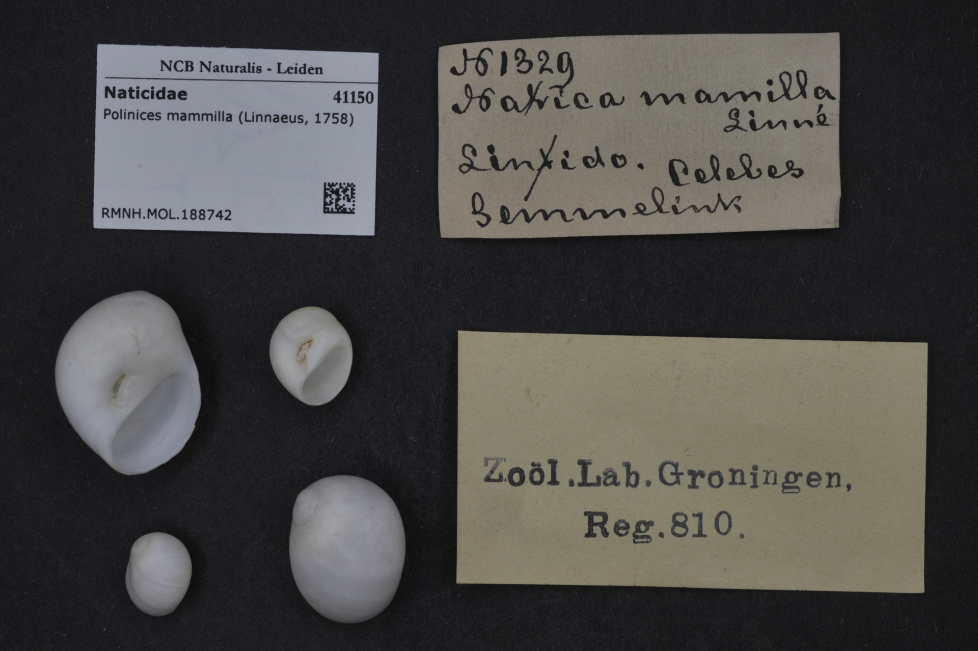 RMNH.MOL.188742 | Polinices mammilla (Linnaeus, 1758)