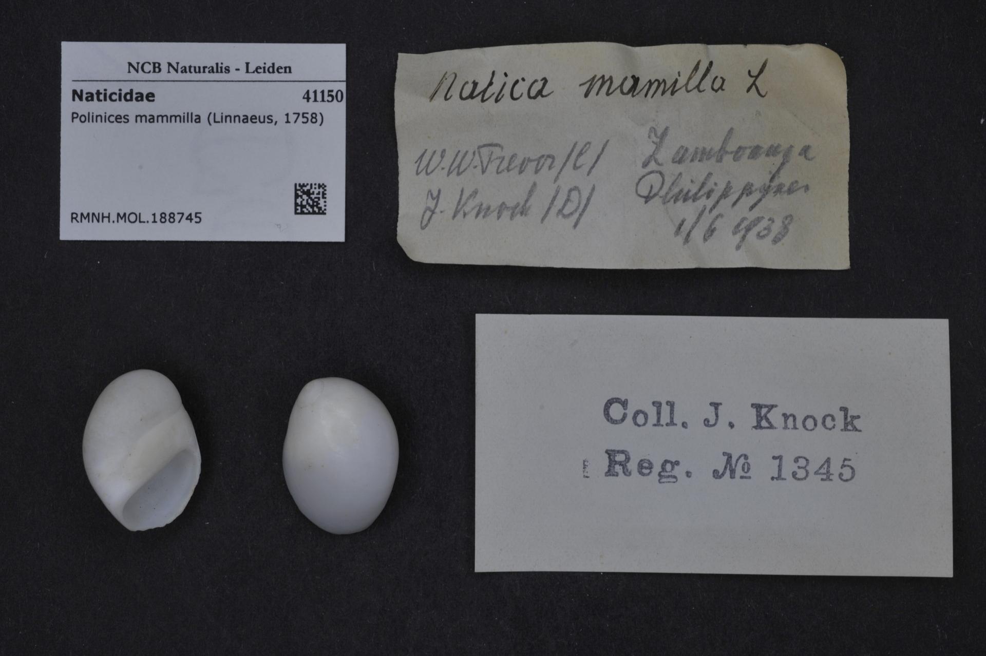 RMNH.MOL.188745 | Polinices mammilla (Linnaeus, 1758)
