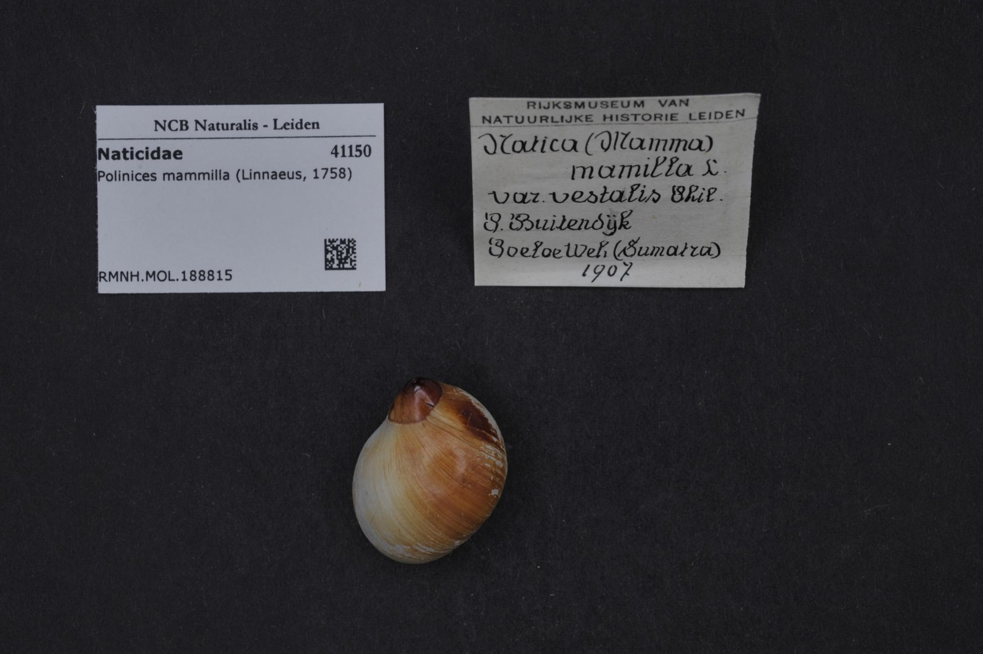 RMNH.MOL.188815 | Polinices mammilla (Linnaeus, 1758)