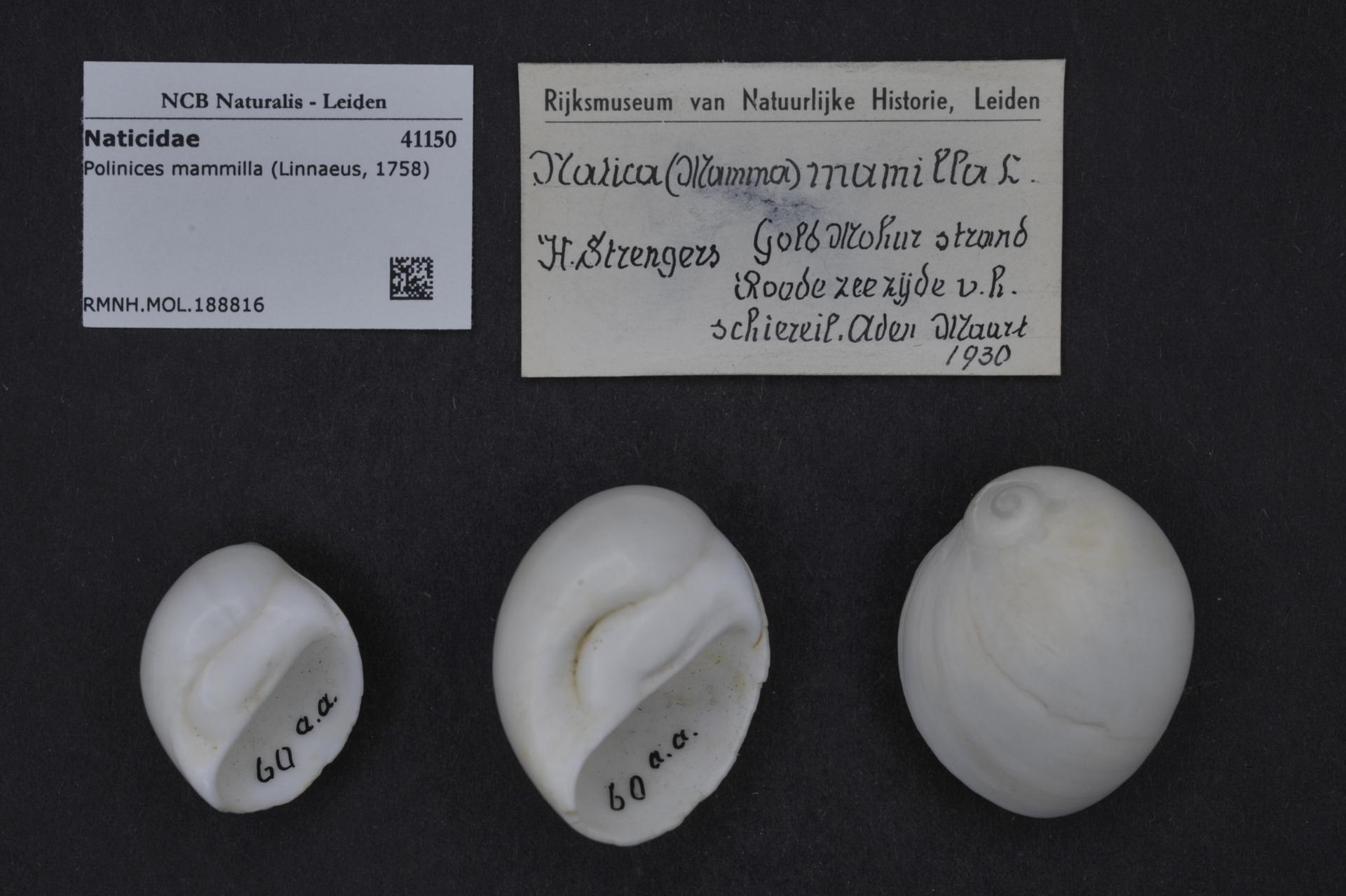 RMNH.MOL.188816 | Polinices mammilla Linnaeus, 1758