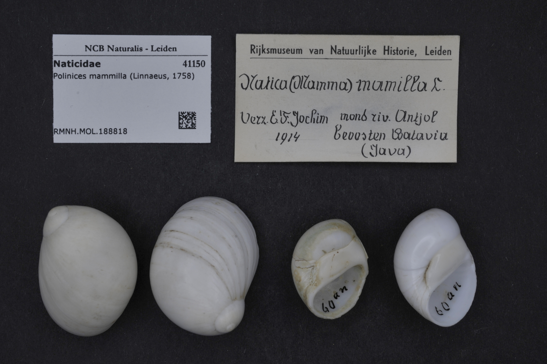 RMNH.MOL.188818 | Polinices mammilla (Linnaeus, 1758)