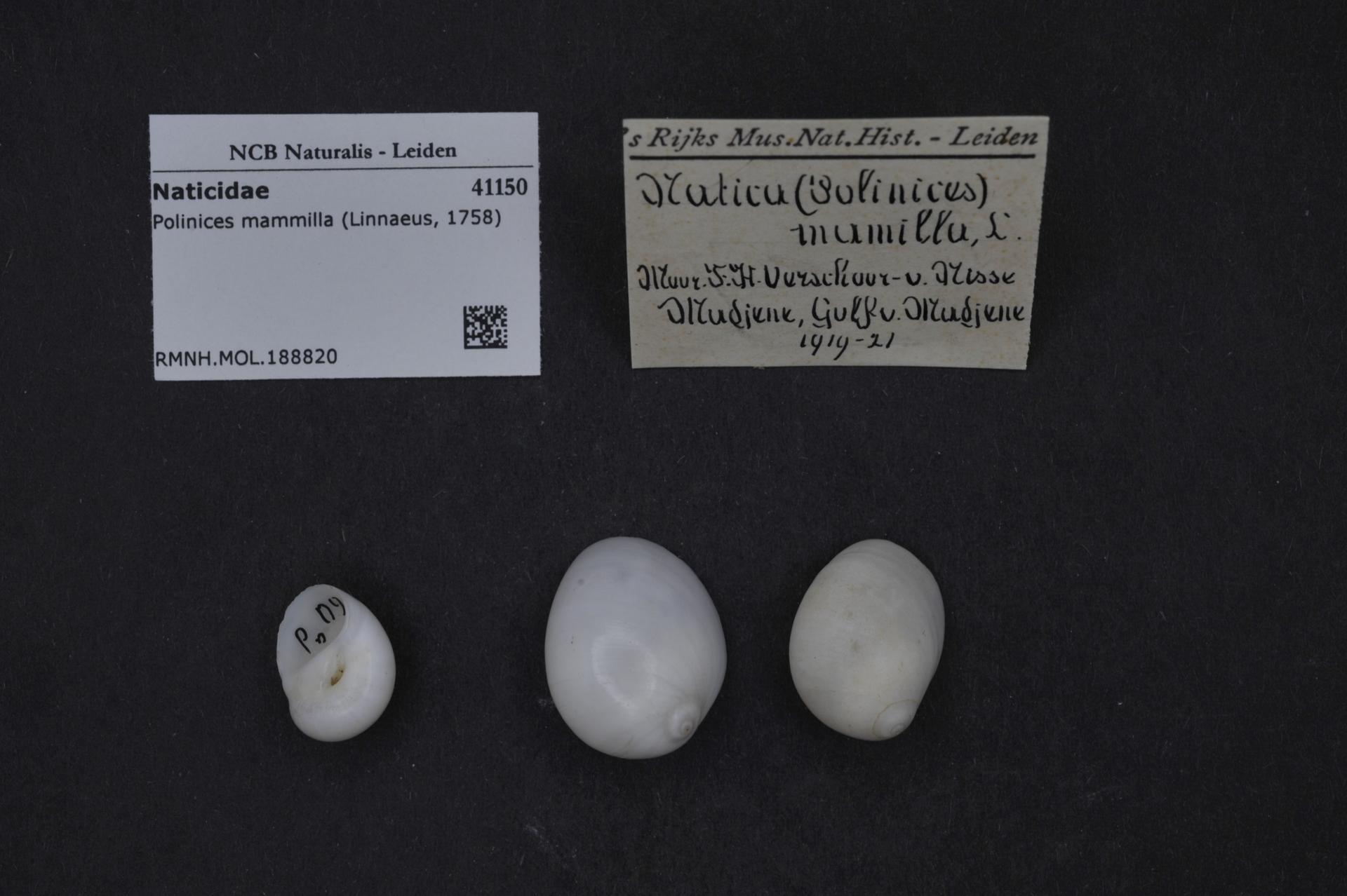 RMNH.MOL.188820 | Polinices mammilla (Linnaeus, 1758)