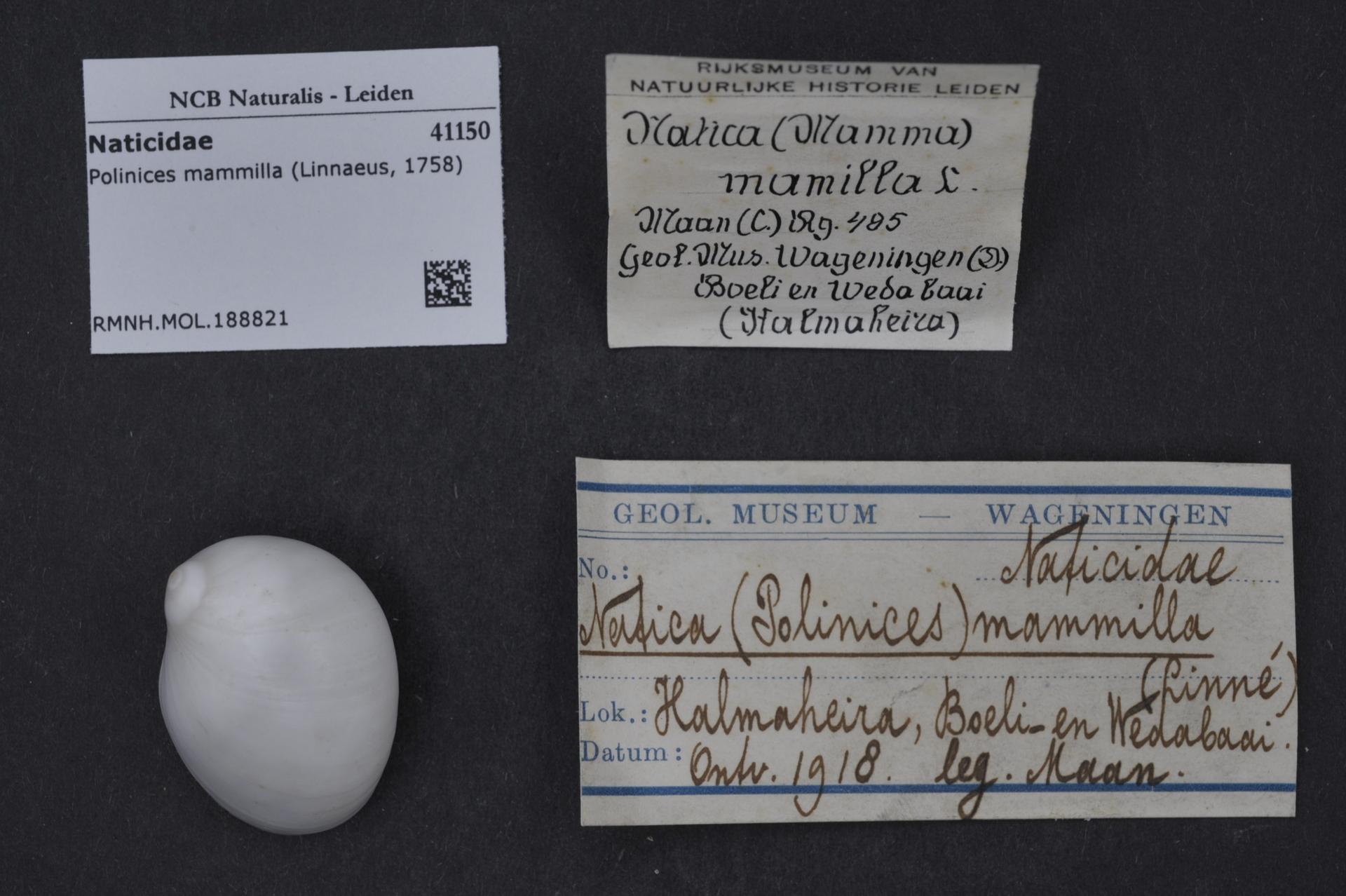 RMNH.MOL.188821 | Polinices mammilla (Linnaeus, 1758)