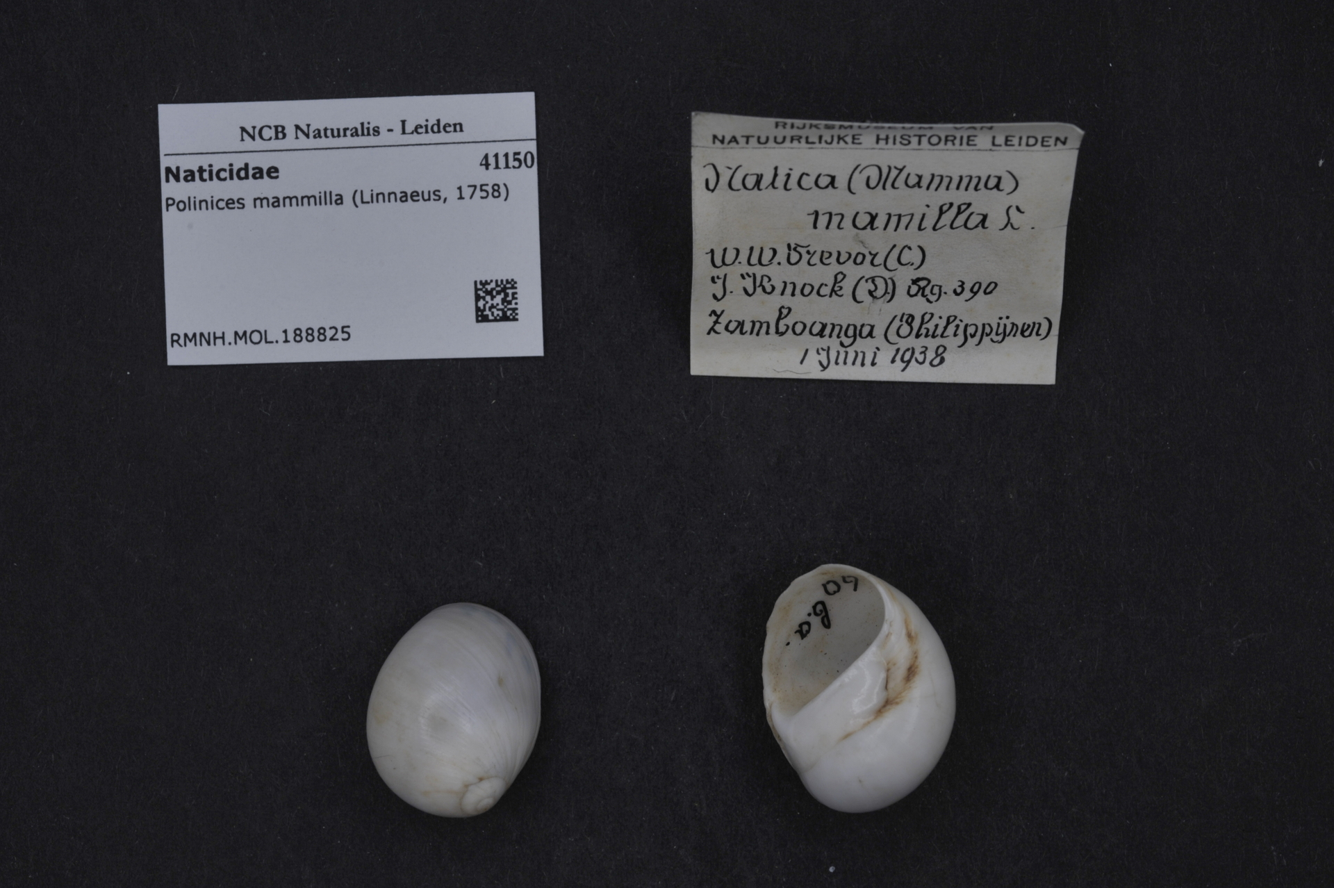RMNH.MOL.188825 | Polinices mammilla (Linnaeus, 1758)