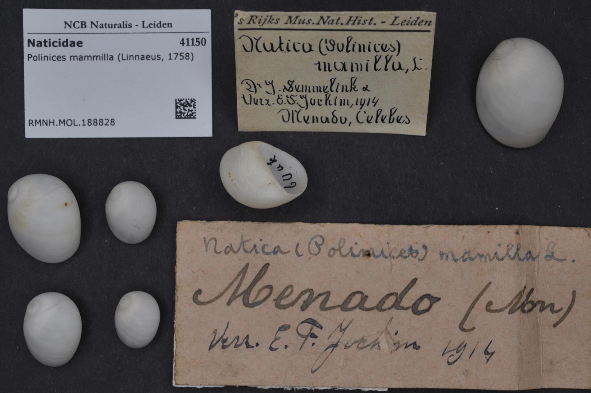 RMNH.MOL.188828 | Polinices mammilla (Linnaeus, 1758)