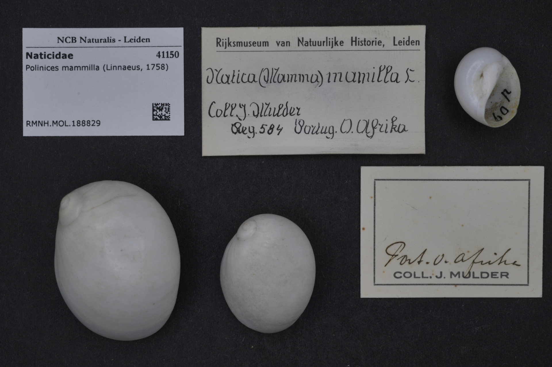 RMNH.MOL.188829 | Polinices mammilla (Linnaeus, 1758)