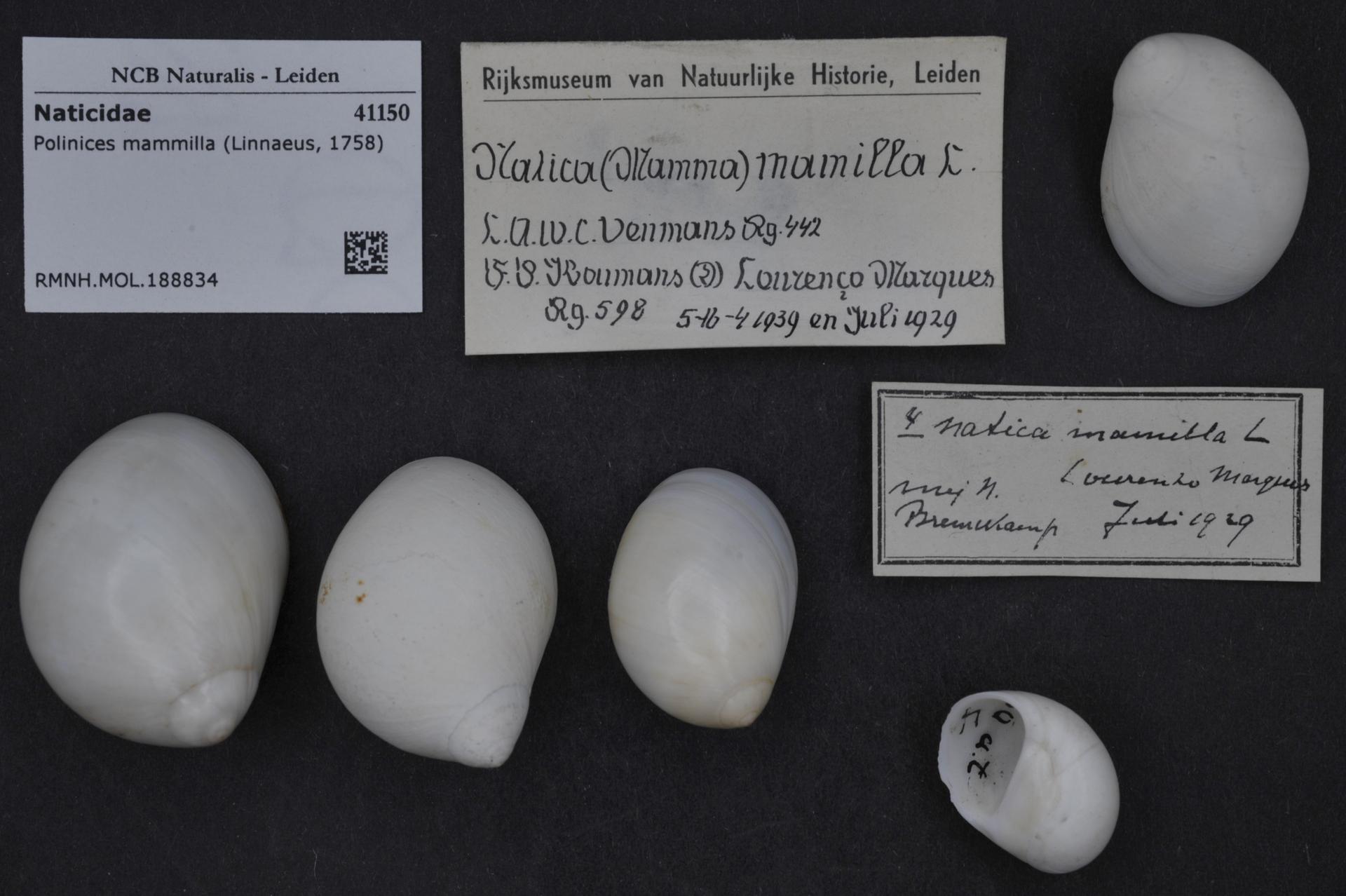 RMNH.MOL.188834 | Polinices mammilla (Linnaeus, 1758)