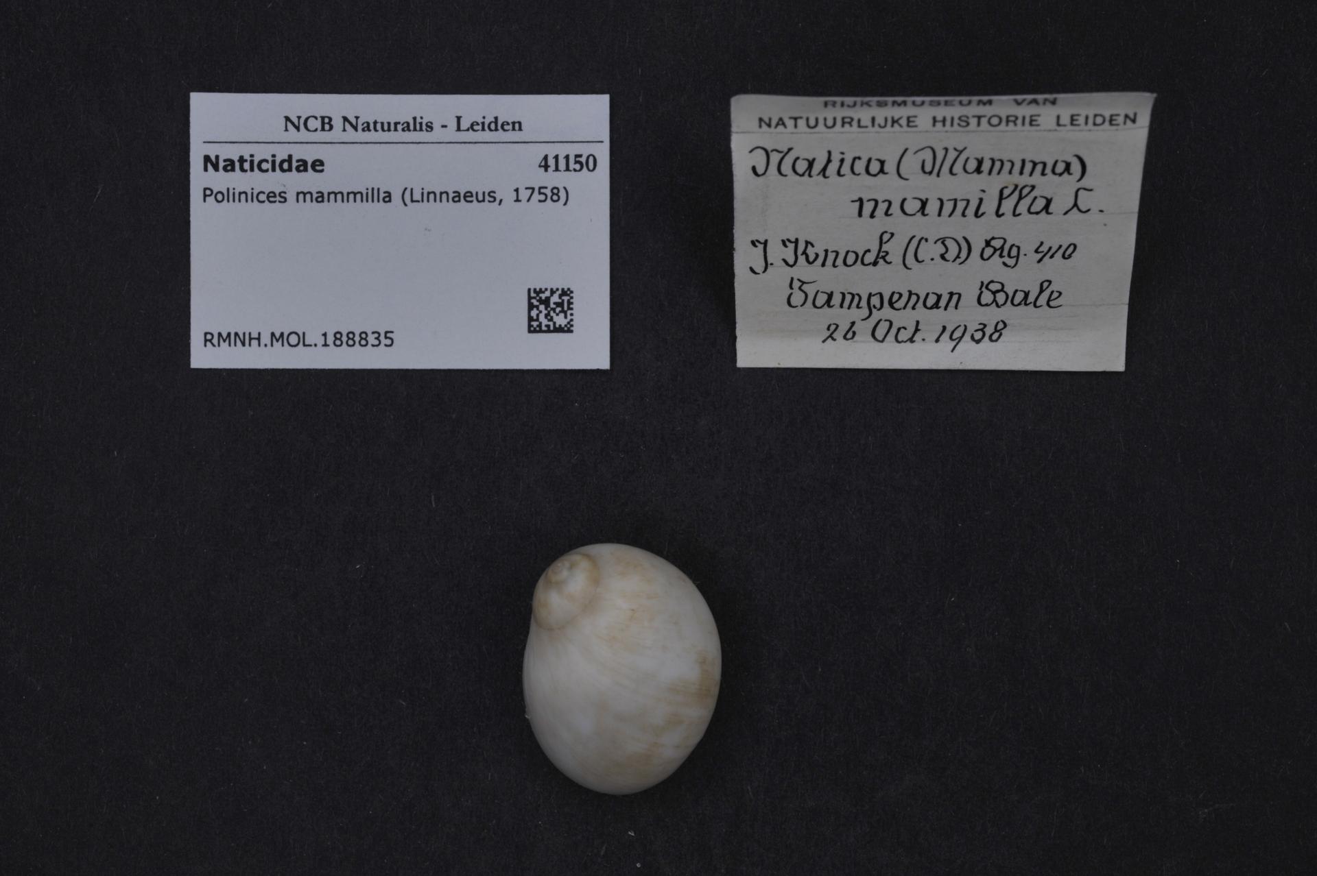 RMNH.MOL.188835 | Polinices mammilla (Linnaeus, 1758)